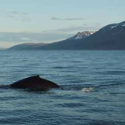 Whale-watching in Islanda