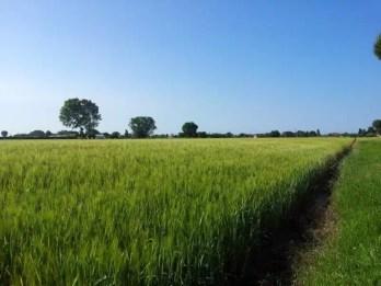 Bellaria Igea Marina campo di grano