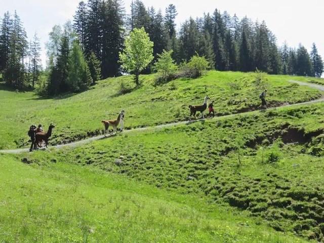 Trekking con i lama - Tirolo, Austria