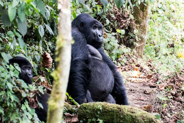 Gorilla - Bwindi Forest National Park, Uganda