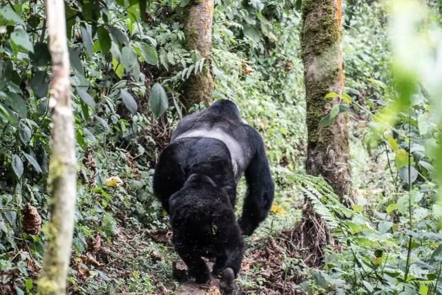 Gorilla, Bwindi Forest National Park - Uganda