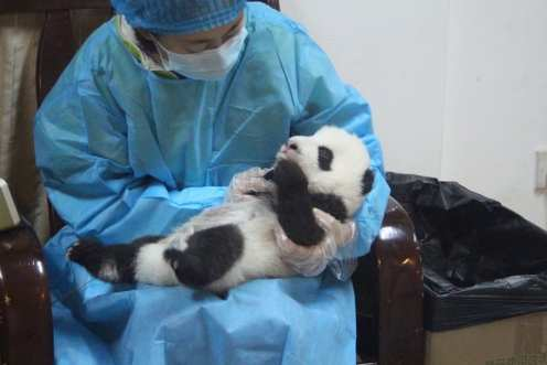 Panda - Cina