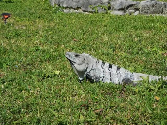 1-iguana-che-si-crogiola-al-sole-2