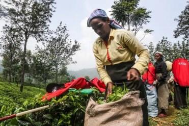 Una donna Tamil che lavora nelle coltivazioni