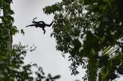 5 Scimmia ragno