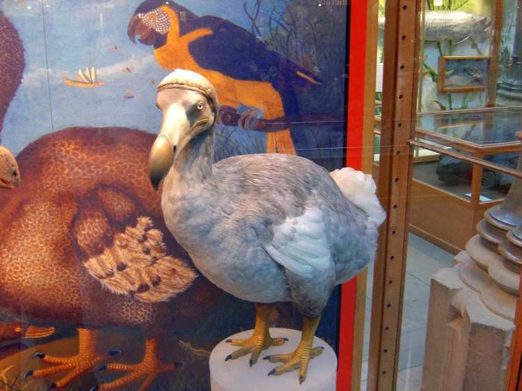 dodo a Mauritius