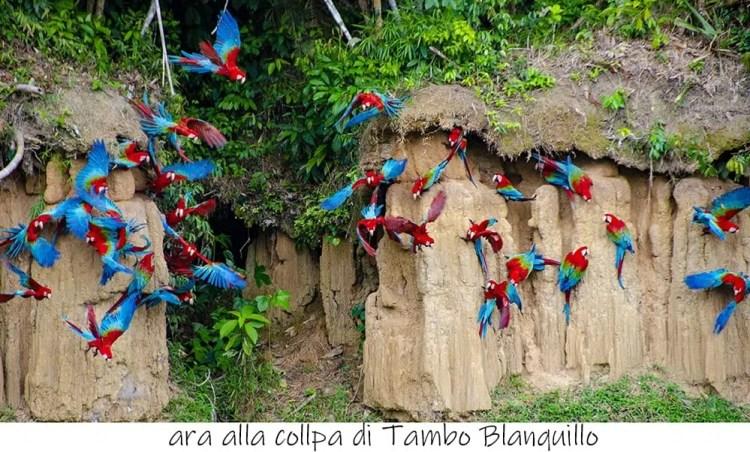 Macaw clay lick di Tambo Blanquillo