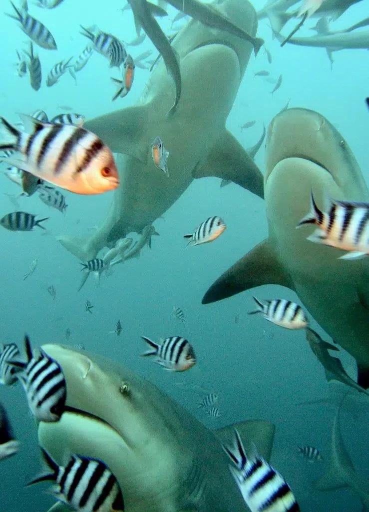 squali a Isole Fiji, Oceano Pacifico