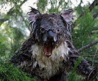 Drop Bear australie