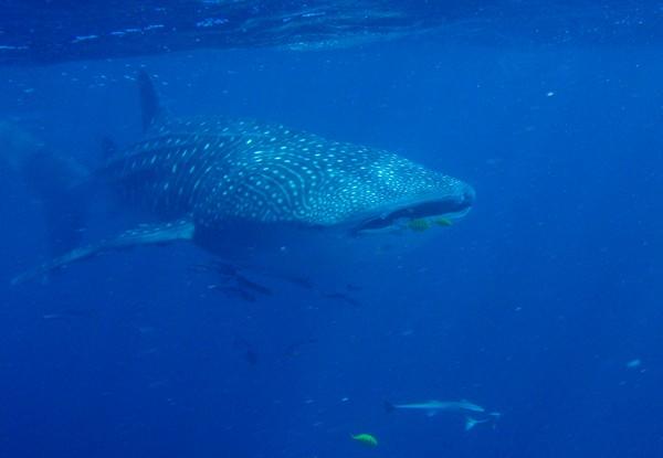 Voir Requin Baleine Australie