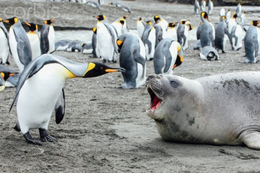 07 Mar 2009, Antarctica --- King penguin argues with seal --- Image by © Michael Kai/Corbis