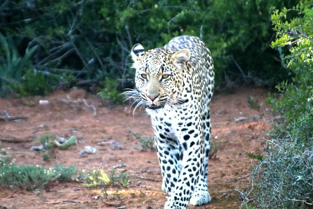 06Nov18Leopard10