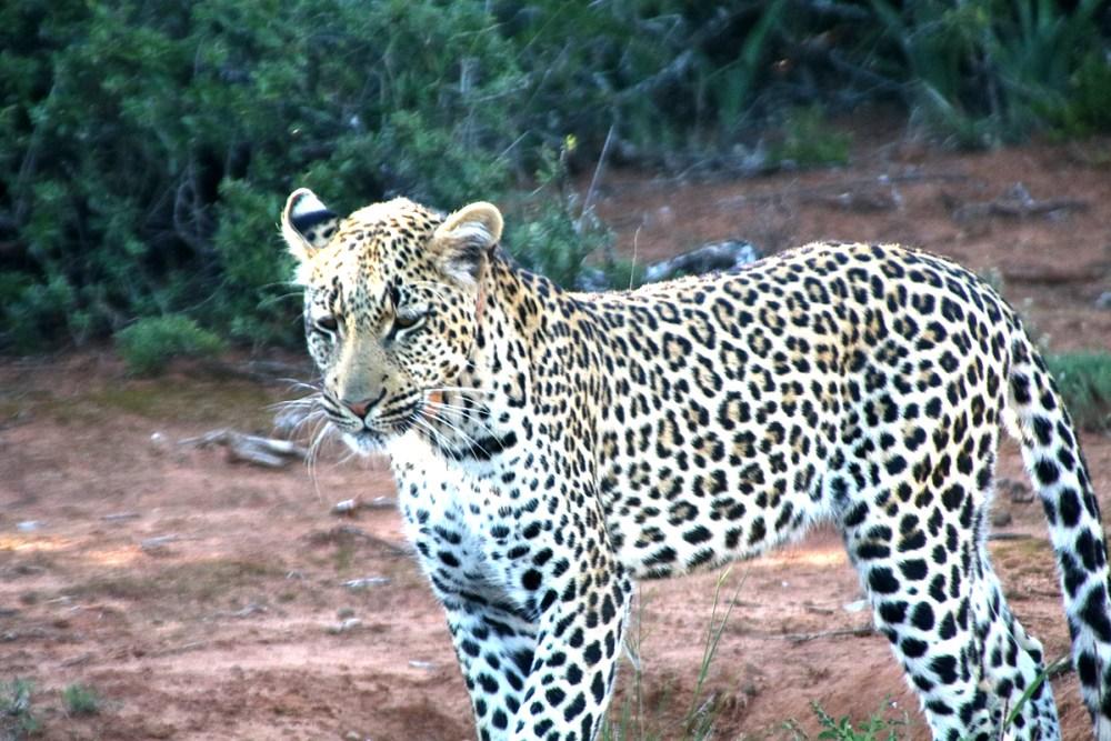 06Nov18Leopard14