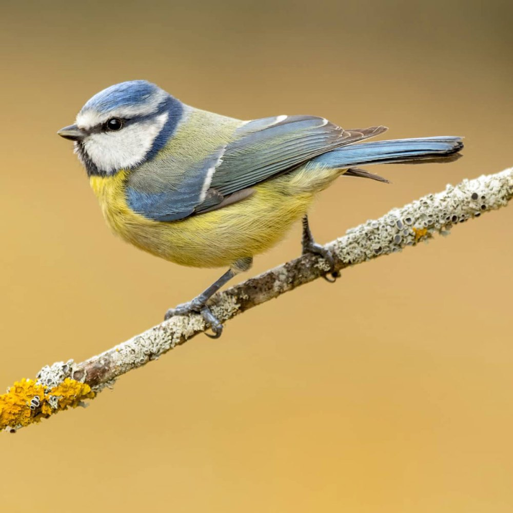 11Jan21Bluetit