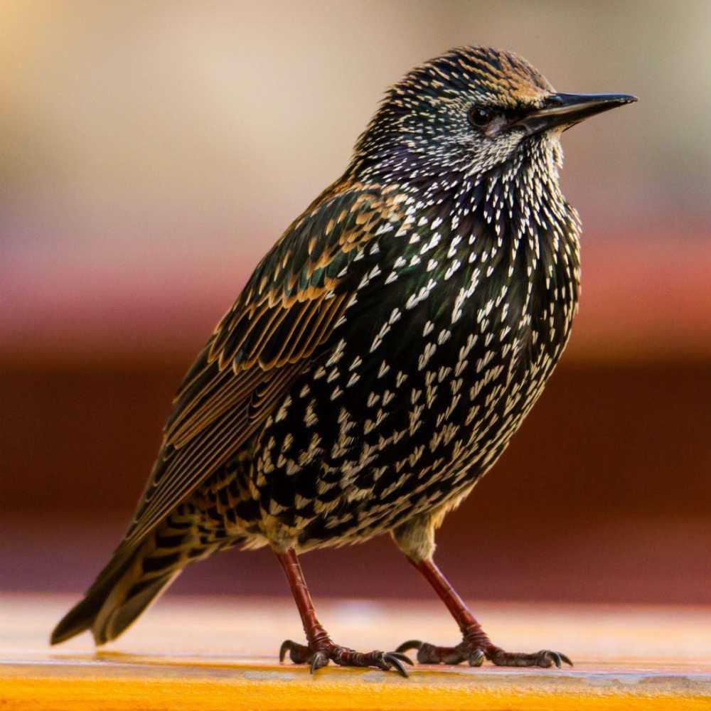 Starling-Sturnus-vulgaris
