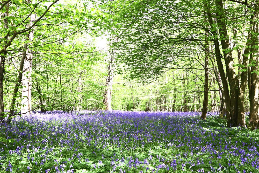 12May21Bluebell3