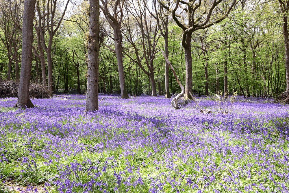 12May21Bluebell4
