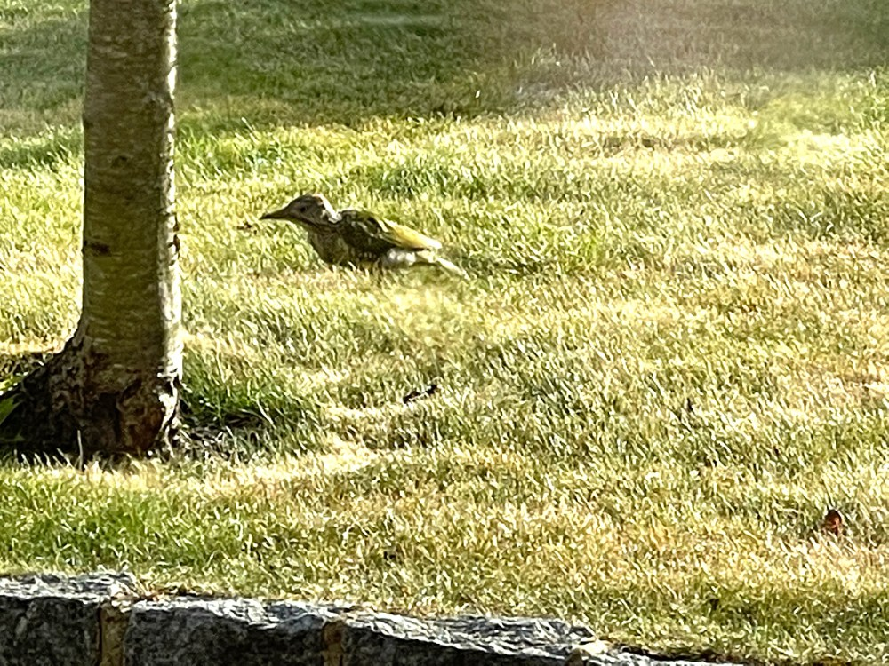 14Sep21Woodpecker
