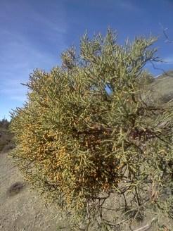 Juniper leaves