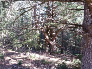 This is the greatgrand-kid tree. Just about 1/2 a mile from the Grandfather, could this tree be on a similar trajectory?