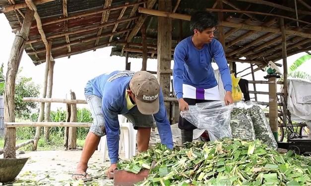 Pangunahing supply sa pagkain ng baka, green corn, silage, rice straw at corn stover