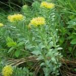 rhodiola rosea plant