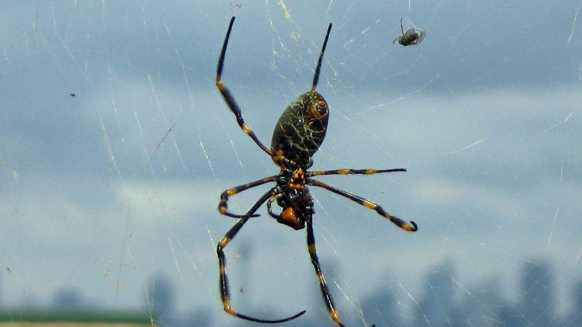 Golden orb spider with an insect caught in its web. Image: Creative Commons, Greg Schechter.