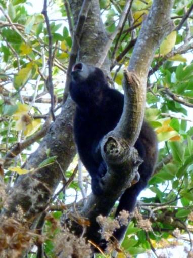 A howler howling-Ometepe
