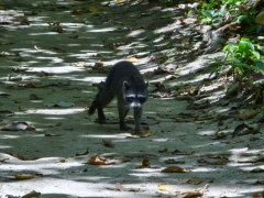 Racoon in the path - Cahuita National park