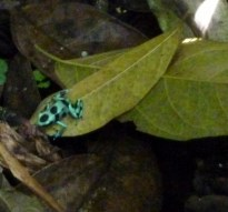 Poison Dart frog - Jaguar Sanctuary - near Puerto Viejo