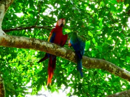 Macaws - roadside park between San Jose and Tamarindo
