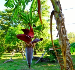 Bananas growing - Tamarindo