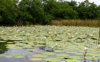 Water lilies on Lago Izabel - El Estor