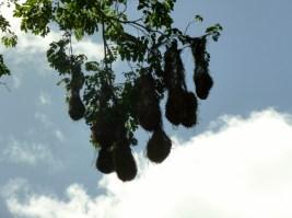 Hanging birds' nests - Montezuma Oraoendola - Copan