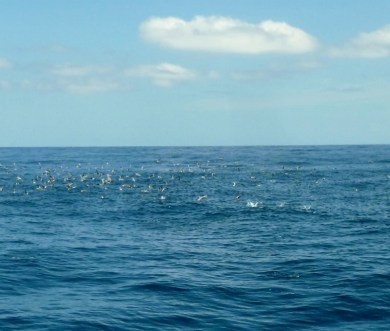 """A """"boil"""" (whale sharks below force smaller fish to surface for bird feeding frenzy) Utila"""