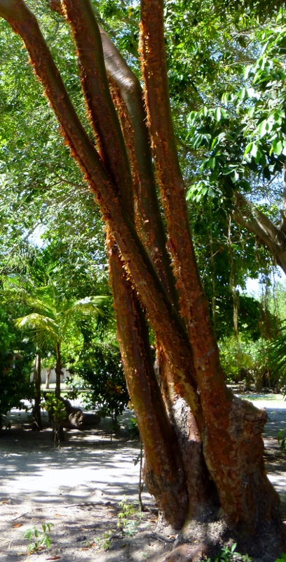 """The """"tourist tree"""" (because it's red and peeling) Utila"""