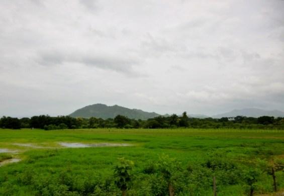 rice fields - Azuero Peninsula