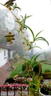 Mini Grünlilie
