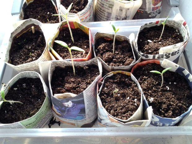 Tomaten auf der Fensterbank vorziehen