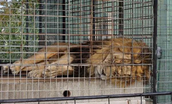 depressed-lion