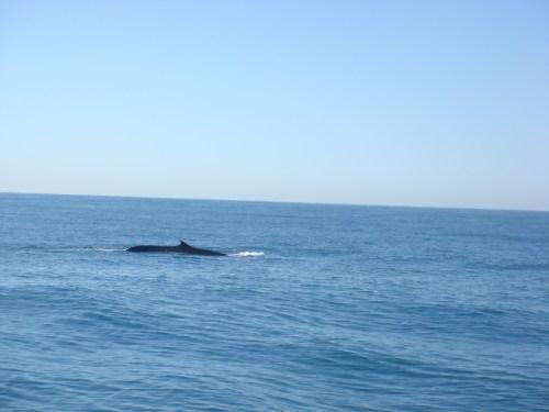 Fin Whale 1