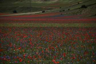 campo colorato, campi fioritura