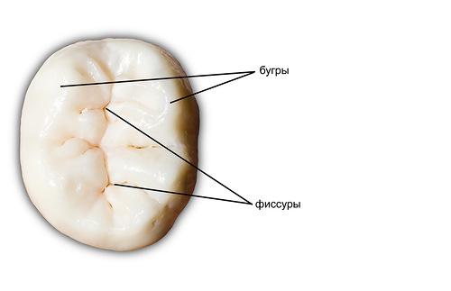 русинок бугров и фиссур на поверхности жевательного зуба