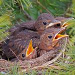 Vogelküken brauchen ein sicheres Zuhause