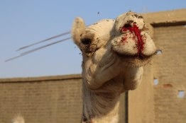 2018-Kamele-Aegypten-Schlaege-10-c-PETA-Asia