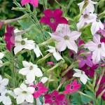 Die Gartenrowdys: Ziertabak