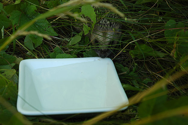 Come and get some water, little hedgehog