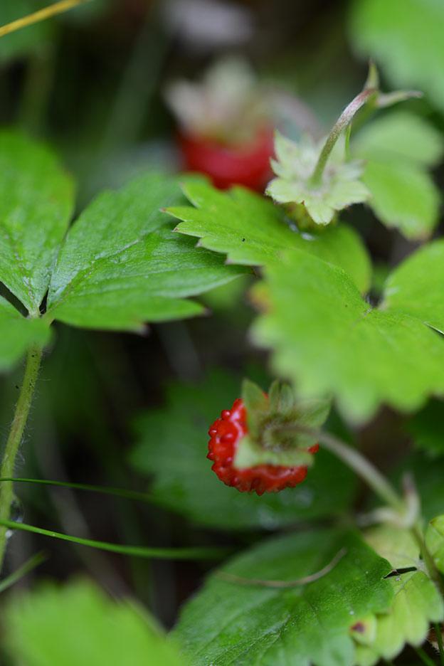 Wild strawberries, markjordbær