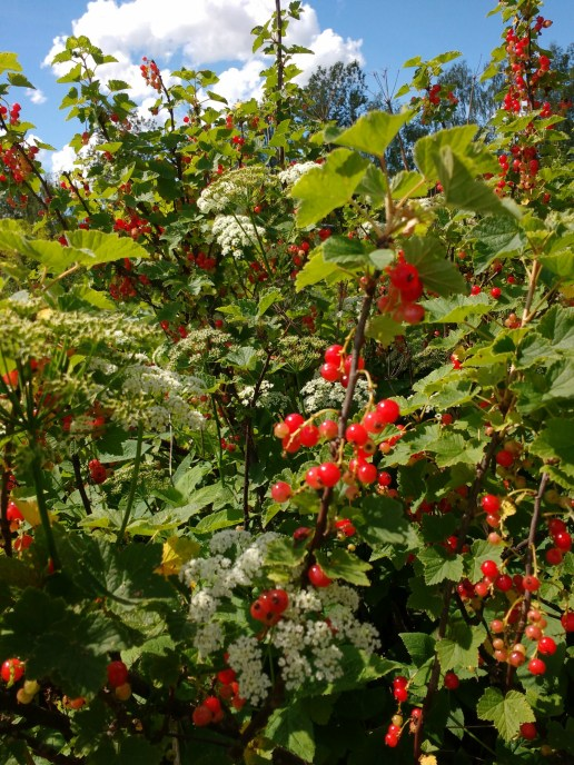 redcurrants2