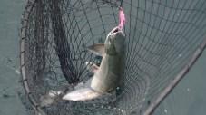 Salmon in the Net